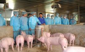 Thịt lợn nhiễm dịch tả châu Phi, người dân có nên tạm tẩy chay thịt lợn?